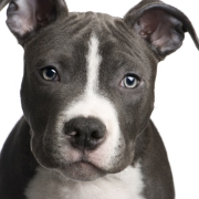 dog-picture-photo-american-pit-bull-terrier-puppy